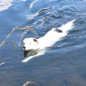 Hund schwimmt in See