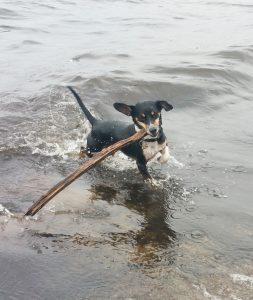 Hund apportiert Stock aus dem Wasser