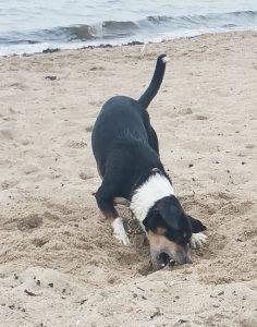 Hund vergräbt Spielzeug im Sand am Strand