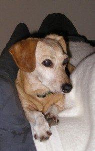 Alter Hund mit grauer Schnauze