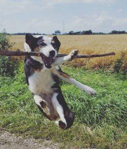 Hund im Sprung fängt Stock